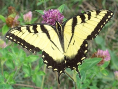 Eastern Tiger Swallowtail.  Credit: Sulfur, 2005